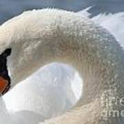 Shy Swan Art Print