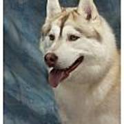 Siberian Husky 954 Art Print