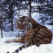 Siberian Tiger Lying On Mound Of Snow Art Print