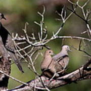 Siesta Time - Mourning Dove Art Print