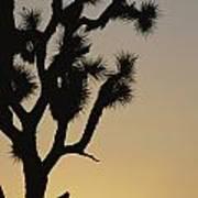 Silhouetted Joshua Tree In Antelope Art Print