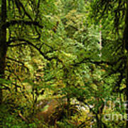 Silver Falls Rainforest Art Print