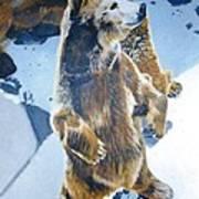 Silvertip Grizzly Bear Art Print