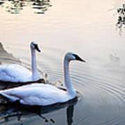 Sing Of White Swan Art Print