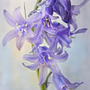 Single Bluebell Art Print