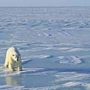 Single Polar Bear Art Print