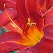Single Red Lily 2 Art Print
