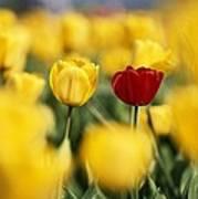 Single Red Tulip Among Yellow Tulips Art Print