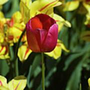 Single Red Tulip Art Print