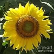 Single Sunflower Art Print