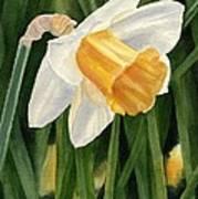 Single Yellow Daffodil Art Print
