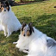 Sitting Pretty Collie Dogs Art Print