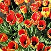Skagit Valley Tulips 10 Art Print