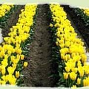 Skagit Valley Tulips 2 Art Print