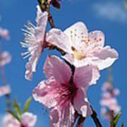 Sky High Cherry Blossoms Art Print