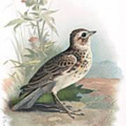 Skylark, Historical Artwork Art Print