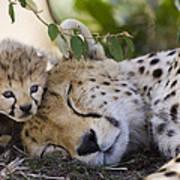 Sleeping Cheetah And Cub Kenya Art Print