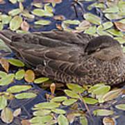 Sleeping Duck Art Print