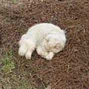 Sleeping Ivory The Cat Art Print