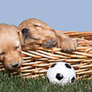 Sleeping Puppies In Basket And Toy Ball Print by Cindy Singleton