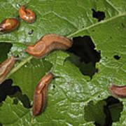 Slugs And A Snail Are Feeding On Leaves Art Print