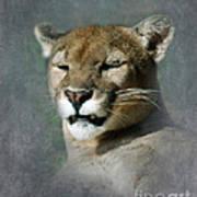 Slumbering Mountain Lion Art Print