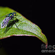 Small Green Fly 2 Art Print