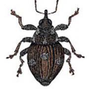 Small Nettle Weevil Art Print