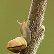 Snail In Dew Art Print