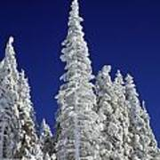 Snow-covered Pine Trees Art Print by Natural Selection Craig Tuttle