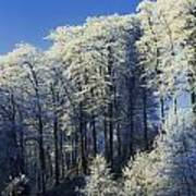 Snow Covered Trees In A Forest, County Art Print