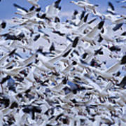 Snow Geese Chen Caerulescens Fly Art Print by Ralph Lee Hopkins