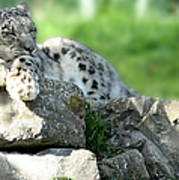Snow Leopard At Rest. Kitty Time Art Print
