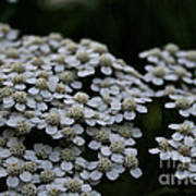 Snow Sport Yarrow Art Print