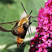 Snowberry Clearwing Moth Art Print