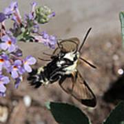Snowberry Clearwing Moth Feeding Art Print