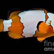Snowflake Clownfish Art Print