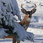Snowy Buck Art Print