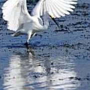 Snowy Egret Fishing Art Print