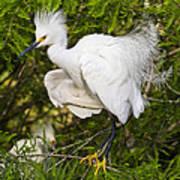 Snowy Egret In Breeding Plumage Art Print