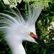 Snowy Egret With Breeding Plumage Art Print
