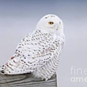 Snowy Owl I Art Print