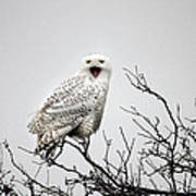 Snowy Owl In A Tree Art Print