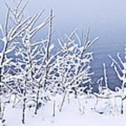 Snowy Trees Print by Elena Elisseeva