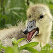 So Much To Say So Little Time For A Gosling Art Print