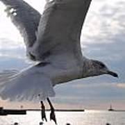 Soaring Gull Art Print