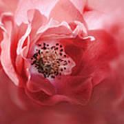Soft Rose In Square Format Art Print