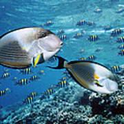 Sohal Surgeonfish Art Print