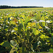 Soybeans Sprout In A Large Eastern Art Print by Stephen St. John