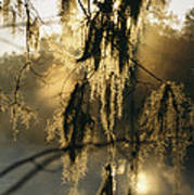 Spanish Moss Hanging From A Tree Branch Art Print